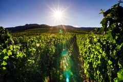 Vingård för vindruvor på solnedgången, höst i Frankrike Fotografering för Bildbyråer