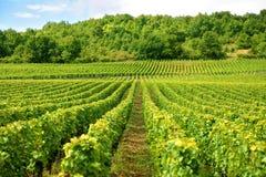 Vingård i Bourgogneregion av Frankrike Arkivfoton