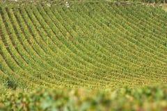 Vingård i burgundy, france Royaltyfri Foto
