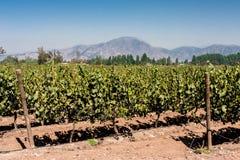 Vingård i Chile Arkivfoto