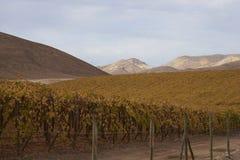 Vingård i den Atacama öknen, Chile Arkivbilder