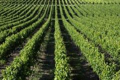 Vingård i den Dordogne regionen av Frankrike royaltyfri foto