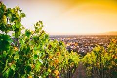 Vingård i den Hessen Tysklandet arkivbilder