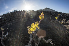 Vingård i den Lanzarote ön som växer på vulkanisk jord Arkivfoton