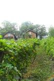 Vingård i den Novoselac byn utanför Zagreb den kroatiska huvudstaden, den centrala kroatiska regionen Arkivfoto