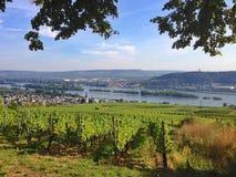 Vingård i den Rheingau regionen Arkivfoto