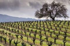 Vingård i den Sonoma dalen i början av våren, Kalifornien Arkivfoto