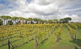Vingård i den Tuscan bygden Arkivfoton