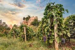 Vingård i Emilia Romagna, Italien Arkivfoto