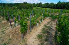 Vingård i en förberedd halvcirkel som gör vin Arkivbild
