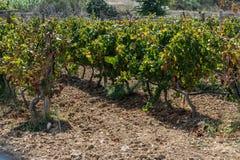 Vingård i Gozo horisontal Utrymme för text arkivfoto