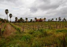 Vingård i Guadalupe Valley Royaltyfri Fotografi