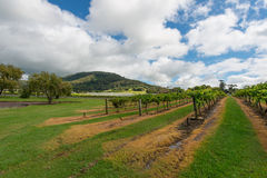 Vingård i NSW, Australien Fotografering för Bildbyråer