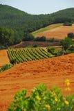 Vingård i Tuscany arkivbilder