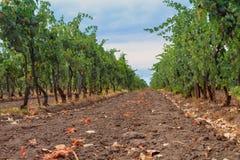 Vingård i vinregionen Royaltyfria Foton