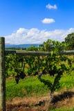 Vingård i Virginia med druvor och bergplats Arkivbilder