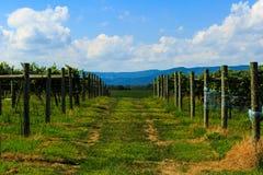 Vingård i Virginia med druvor och bergplats Arkivfoto