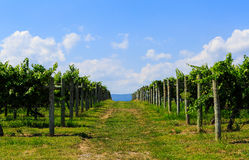 Vingård i Virginia med druvor och bergplats Royaltyfri Foto