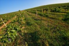 Vingård jordbruk, bygdlandskap royaltyfri fotografi