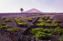 Vingård Lanzarote, Spanien, kanariefågelöar Royaltyfri Bild