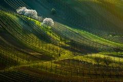 Vingård med att blomstra vita träd i den tidiga våren arkivfoto