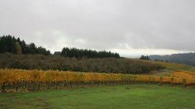 Vingård med druvor uthärda vinrankor, i att panorera för nedgångsäsong arkivfilmer