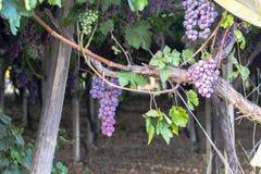 Vingård med mogna druvor Arkivfoton