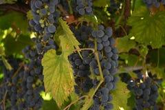 Vingård med röda druvor för vinranka royaltyfri bild