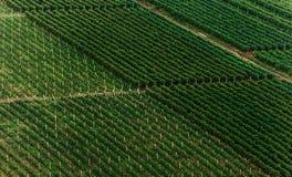 Vingård med rader av druvor Arkivbilder