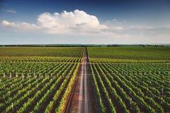 Vingård med rader av druvor som växer under en blå himmel royaltyfria bilder