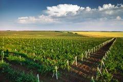 Vingård med rader av druvor som växer under en blå himmel Arkivfoton