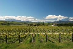 Vingård med sikt på bergskedja. Region för Marlborough vinrankadanande royaltyfri bild