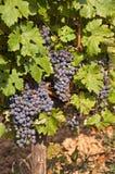 Vingård med svarta druvor Arkivfoton