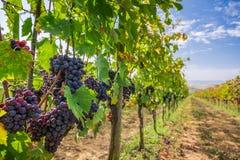 Vingård mycket av mogna druvor i Tuscany Royaltyfri Fotografi