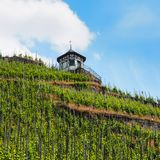 Vingård nära Bernkastel-Kues på floden Moselle Arkivfoton