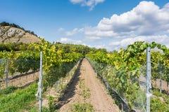 Vingård nära Palava, tjeckisk nationalpark, vinjordbruk och lantbruk, naturlandskap i sommar, blå himmel royaltyfri bild