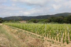 Vingård nära Ramatuelle, Provence Arkivfoton