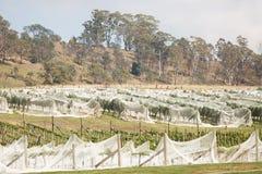 Vingård nordliga Tasmanien royaltyfri bild