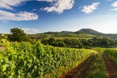 Vingård och bergig liggande i Pfalz, Tyskland arkivfoto