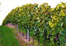 Vingård och gras med druvor Royaltyfri Foto
