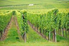 Vingård på Alsace, Frankrike Royaltyfri Foto