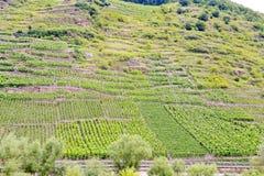 Vingård på gröna kullar på flodstranden av Moselle Arkivbilder