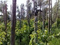 Vingård på kastanjebruna poler Arkivbild