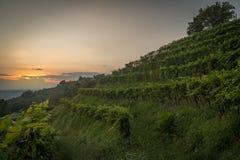Vingård på solnedgången i Italien arkivfoton
