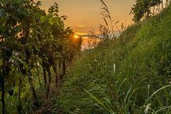 Vingård på solnedgången i Italien arkivfoto