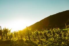 Vingård på solnedgången i italienska vinkullar av valdobbiadene Royaltyfri Fotografi