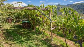 Vingård södra Tyrolean vinrutt, Italien Royaltyfri Bild