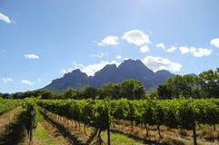 Vingård - Stellenbosch - Sydafrika royaltyfri foto