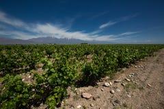 Vingård valle de uco, Argentina royaltyfria bilder
