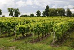 vingårdar Royaltyfria Foton